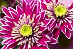 小组与叶子的美丽的菊花花 库存照片