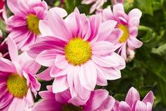 小组与叶子的美丽的菊花花 免版税库存图片
