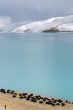小组与山和湖的牦牛 免版税库存图片