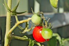 小组与水滴的雪利酒红色和绿色蕃茄  免版税图库摄影