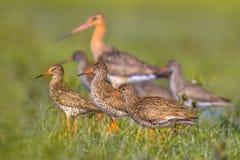 小组与黑被盯梢的黑尾豫趟水者鸟的赤足鹬 库存图片