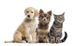 小组两只小狗和欧洲Shorthair 免版税库存图片