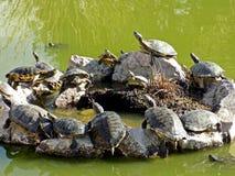 小组乌龟红色有耳的滑子 图库摄影