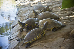 小组乌龟 免版税库存图片