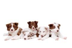 小组五条博德牧羊犬小狗 库存图片
