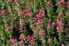 小组五颜六色的桃红色花在庭院里进展 免版税库存照片