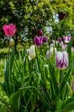 小组五颜六色的郁金香在春天 免版税库存照片