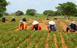 小组亚洲农夫运作的收获花生 图库摄影