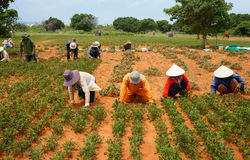 小组亚洲农夫运作的收获花生 免版税库存照片