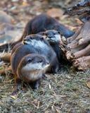小组亚洲小抓的水獭 免版税库存图片