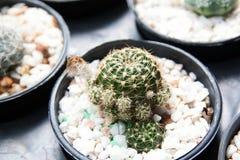 小仙人掌特写镜头在黑罐,一点沙漠植物的 库存图片