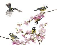 小组伟大的山雀在一个开花的分支,帕鲁斯i少校,栖息 免版税库存照片