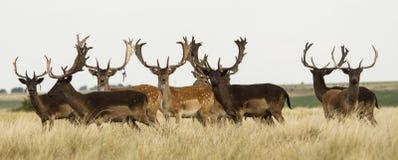 小组公黄鹿鹿在sierra de la ventana 免版税图库摄影