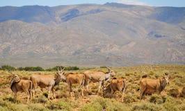 小组elands,最大的羚羊在非洲 库存照片