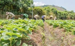 小组农夫收获在领域的草莓 图库摄影