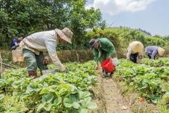 小组农夫收获在领域的草莓 库存图片