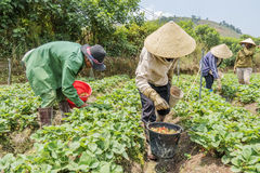 小组农夫收获在领域的草莓 免版税库存图片