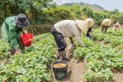 小组农夫收获在领域的草莓 免版税库存照片