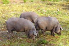 小组利比亚猪在草甸 免版税图库摄影