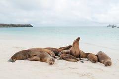 小组加拉帕戈斯睡觉在海滩的海狮 免版税图库摄影