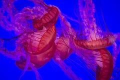 小组反对蓝色背景的萤光桃红色水母 免版税库存照片