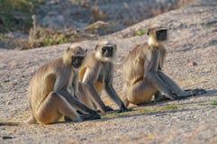 小组叶猴沿路胡闹在拉贾斯坦 图库摄影