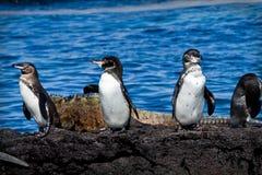 小组在一个岩石的企鹅在加拉帕戈斯 库存图片