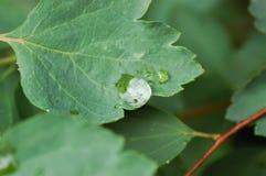 小滴在一片鸡爪枫叶子的雨水 图库摄影