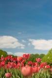 小组在公园agains的红色郁金香覆盖 春天被弄脏的背景明信片 Copyspace 图库摄影