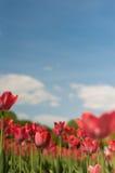 小组在公园agains的红色郁金香覆盖 春天被弄脏的背景明信片 Copyspace 库存照片