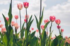小组在公园agains的红色郁金香覆盖 背景被弄脏的弹簧 免版税图库摄影