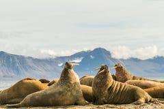 小组在卡尔王子岛的海象,斯瓦尔巴特群岛 免版税库存照片