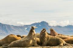 小组在卡尔王子岛的海象,斯瓦尔巴特群岛 库存图片