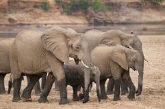 小组在喝的大象在河以后 免版税库存图片