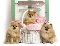 小组在土气背景前面的德国波美丝毛狗 免版税库存照片