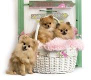 小组在土气背景前面的德国波美丝毛狗 免版税库存图片
