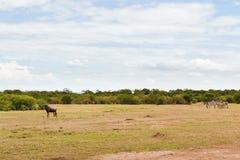小组在大草原的草食动物动物在非洲 免版税库存照片