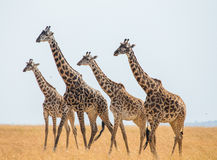 小组在大草原的长颈鹿 肯尼亚 坦桑尼亚 5 2009年非洲舞蹈东部maasai行军执行的坦桑尼亚村庄战士 免版税库存照片