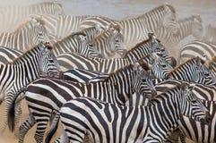 小组在尘土肯尼亚的斑马 坦桑尼亚 国家公园 serengeti 马赛马拉 库存照片