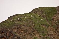 小组在山坡的野绵羊 库存照片