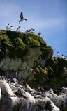 小组在岩石的共同的Murre 免版税库存图片