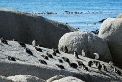 小组在开普敦半岛的企鹅 库存照片