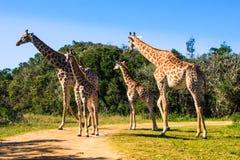 小组在徒步旅行队的长颈鹿 库存照片