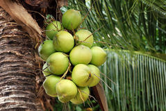 小组在树的年轻椰子 库存图片