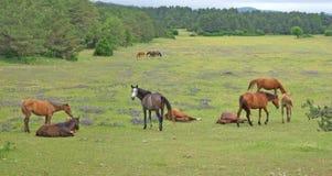 小组在牧场地的马 库存图片