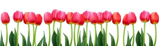 小组在白色背景的花桃红色郁金香 免版税库存照片