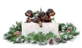 小组在箱子的dobermann小狗在毛皮树 库存照片