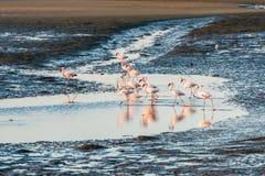 小组在纳米比亚鲸湾港的桃红色和白色火鸟 免版税库存图片