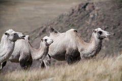 小组在背景小山的骆驼 库存图片