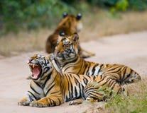 小组在路的野生老虎 印度 17 2010年bandhavgarh bandhavgarth地区大象印度madhya行军国家公园pradesh乘驾umaria 中央邦 图库摄影